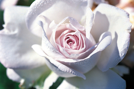 Light_pink_rose